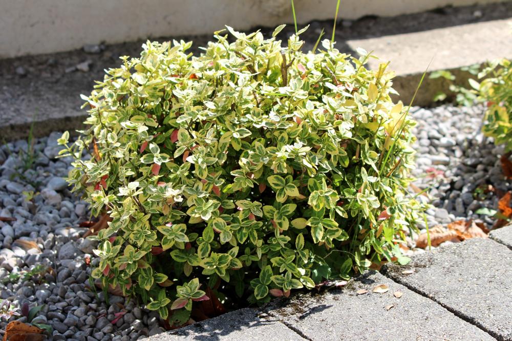Gartenpflanzen Euonymus